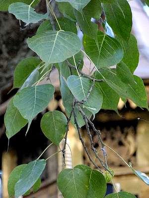 Дерево Бодхи