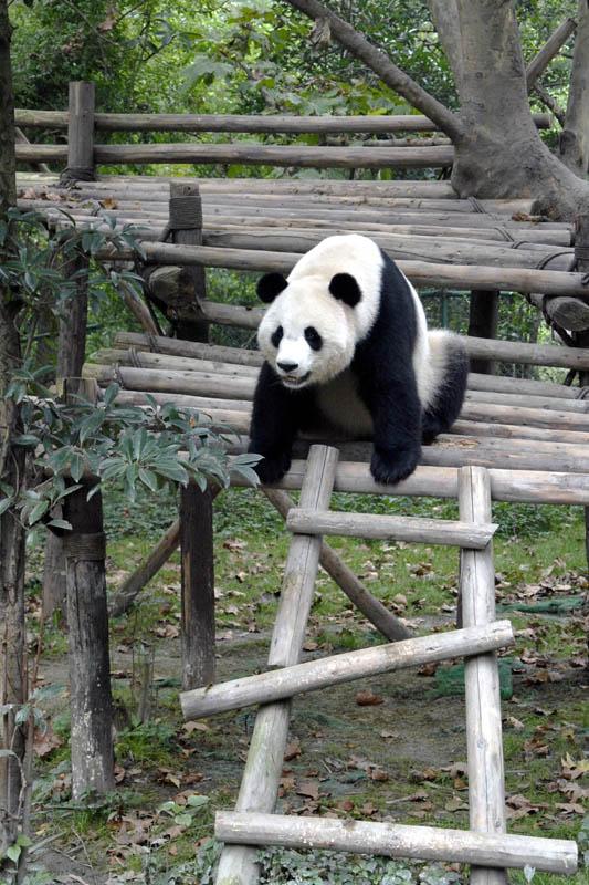 Chengdu-Panda